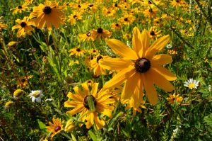 Black Eyed Susans along the Devil Track River