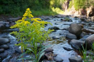 golden rod along the Devil Track River