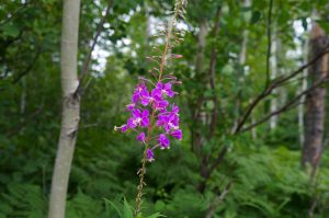 Fireweed along the Caribou River