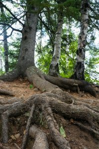 spruce tree roots