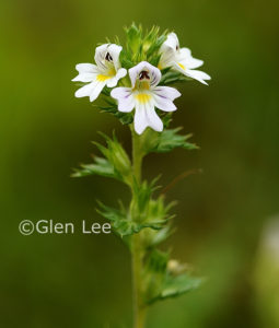 Hudson Bay Eyebright copywright Glen Lee