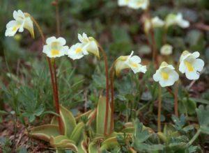 Alpine Butterwort. Copywright Leif & Anita Stridvall