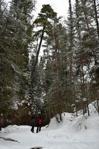 Tall trees above the Kadunce River