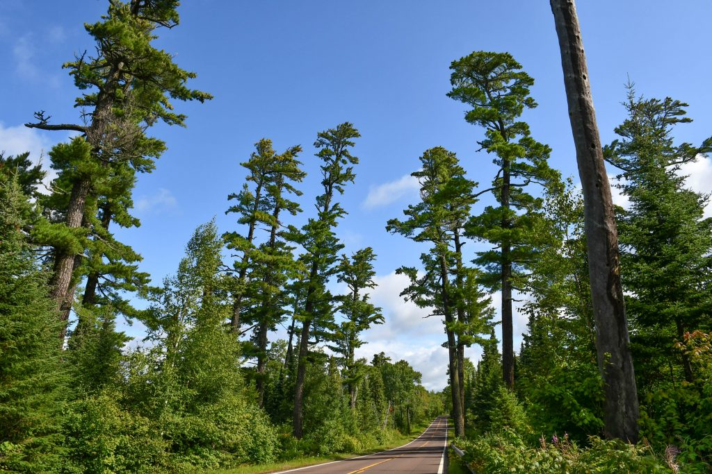 tall white pines on the Gunflint Trail